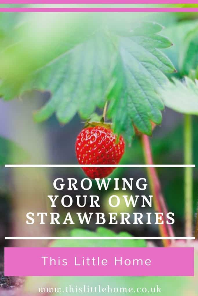 growing your own strawberries
