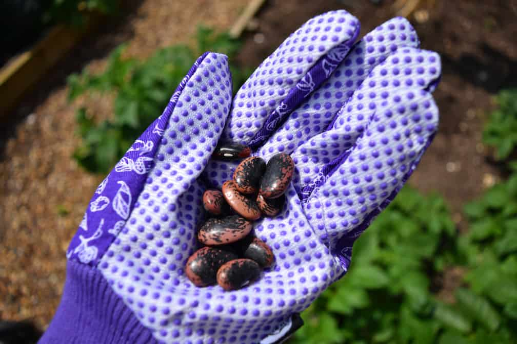 planting and growing your own runner beans