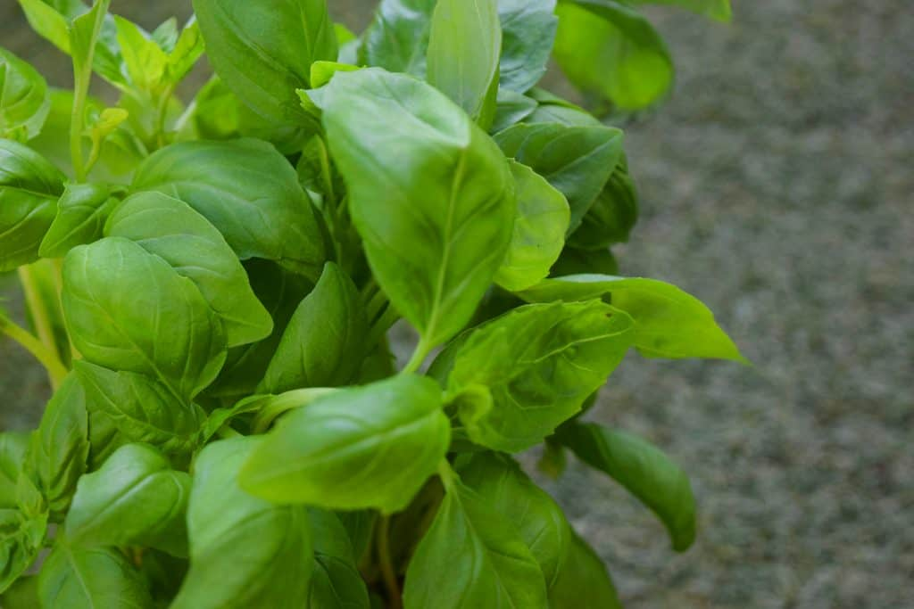 basil how to grow a herb garden for beginners best herbs for the kitchen herb uses