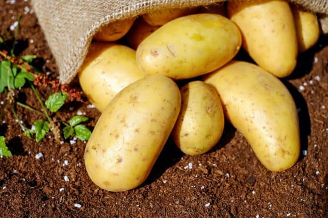 Planting your own potatoes in the garden