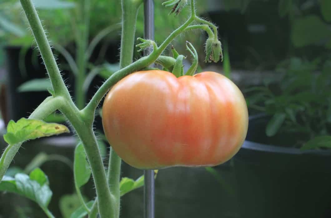 picture of tomato on plant
