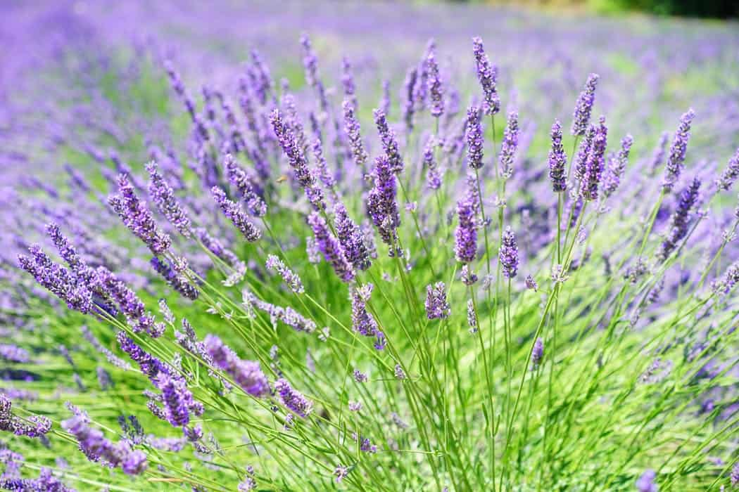 photograph of lavender