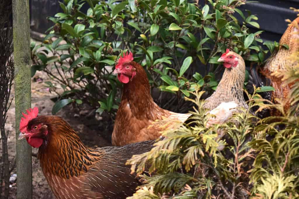 photograph of chickens walking through a bush